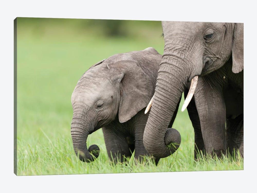 African Elephant Juvenile And Calf, Ol Pejeta Conservancy, Kenya II by Tui De Roy 1-piece Canvas Artwork