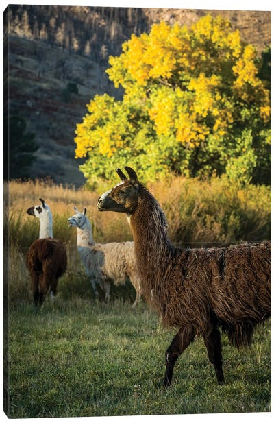 Llama Portrait III Canvas Art Print