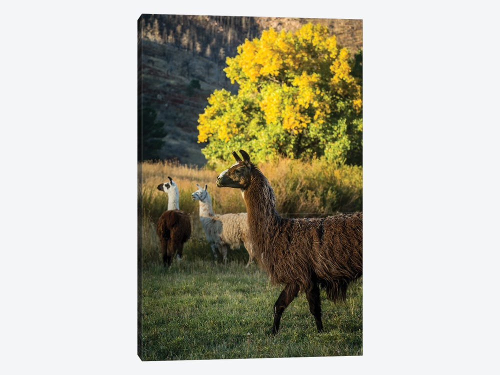 Llama Portrait III by Tyler Stockton 1-piece Canvas Art Print