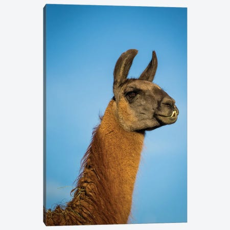 Llama Portrait IV Canvas Print #TYS11} by Tyler Stockton Canvas Wall Art