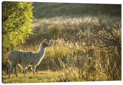 Llama Portrait V Canvas Print #TYS12