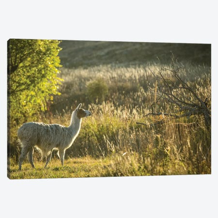 Llama Portrait V Canvas Print #TYS12} by Tyler Stockton Canvas Artwork
