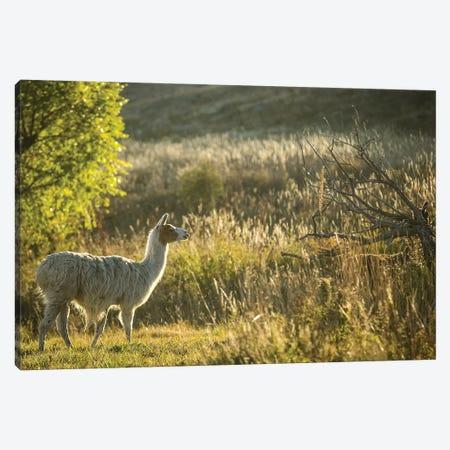 Llama Portrait V Canvas Print #TYS12} by Tyler Stockton Canvas Artwork