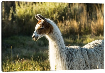 Llama Portrait VI Canvas Art Print