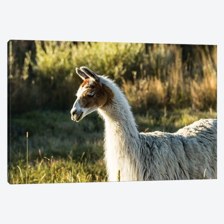 Llama Portrait VI Canvas Print #TYS13} by Tyler Stockton Canvas Artwork