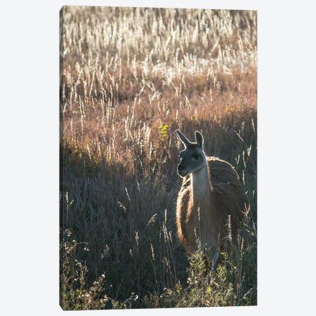 Llama Portrait VII Canvas Print #TYS14} by Tyler Stockton Art Print