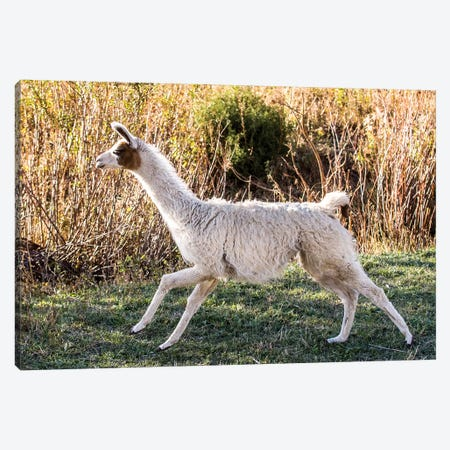 Llama Portrait IX Canvas Print #TYS16} by Tyler Stockton Art Print