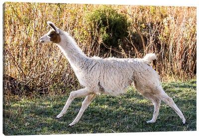 Llama Portrait IX Canvas Art Print