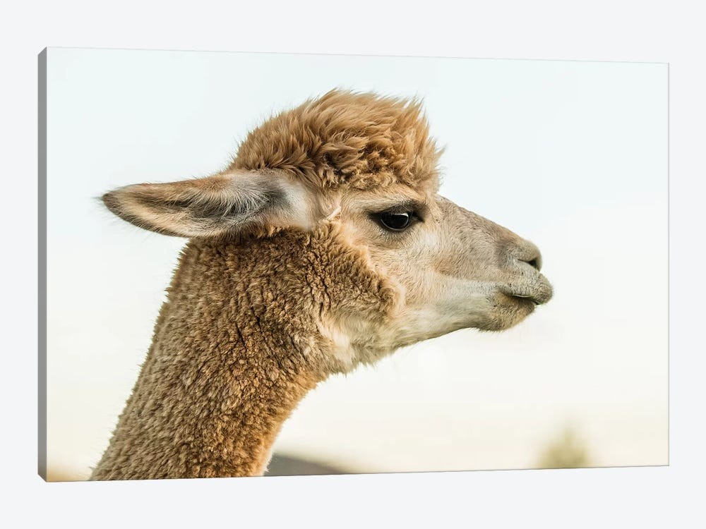 Alpaca Portrait I 1-piece Canvas Wall Art
