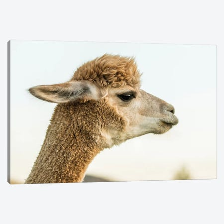 Alpaca Portrait I Canvas Print #TYS1} by Tyler Stockton Canvas Artwork