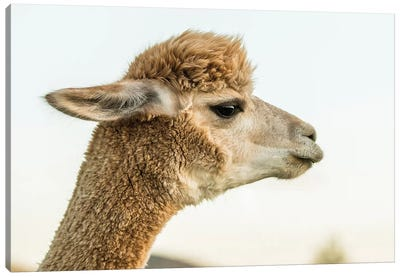 Alpaca Portrait I Canvas Art Print
