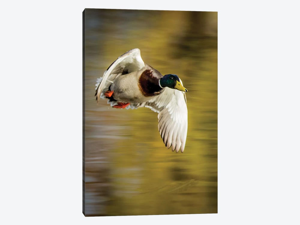 Mallard Flight I by Tyler Stockton 1-piece Canvas Wall Art
