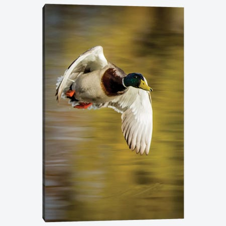 Mallard Flight I Canvas Print #TYS22} by Tyler Stockton Art Print