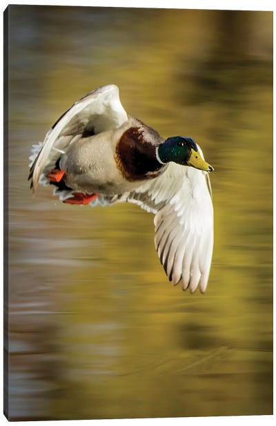 Mallard Flight I Canvas Art Print