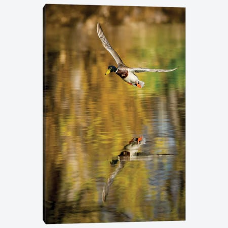 Mallard Flight II Canvas Print #TYS23} by Tyler Stockton Canvas Print