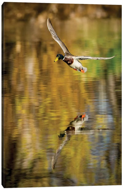 Mallard Flight II Canvas Art Print