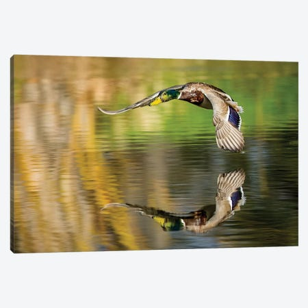 Mallard Flight III Canvas Print #TYS24} by Tyler Stockton Canvas Wall Art