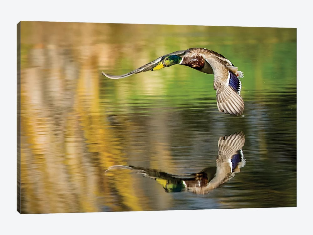 Mallard Flight III by Tyler Stockton 1-piece Canvas Wall Art