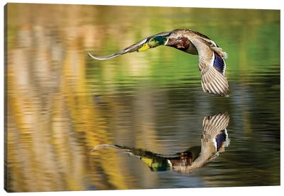 Mallard Flight III Canvas Art Print