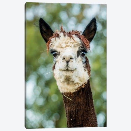 Alpaca Portrait II Canvas Print #TYS2} by Tyler Stockton Canvas Art