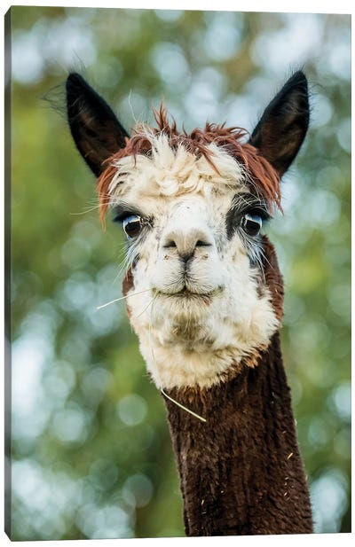 Alpaca Portrait II Canvas Art Print