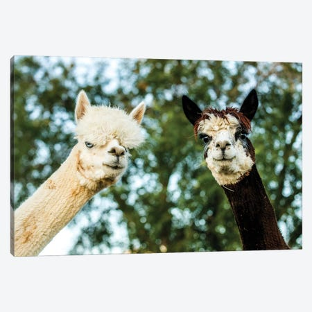 Alpaca Portrait III Canvas Print #TYS3} by Tyler Stockton Canvas Art