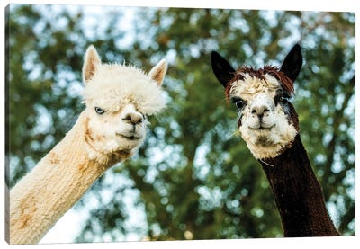 Alpaca Portrait III Canvas Art Print