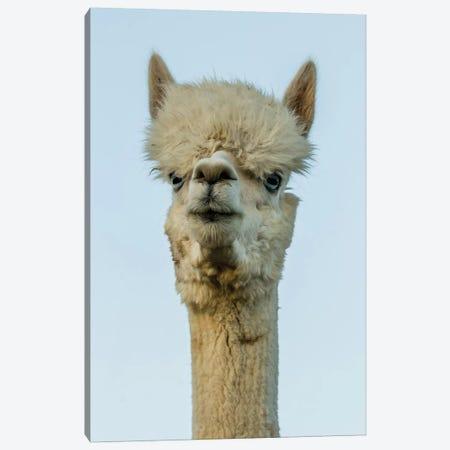 Alpaca Portrait IV Canvas Print #TYS4} by Tyler Stockton Art Print