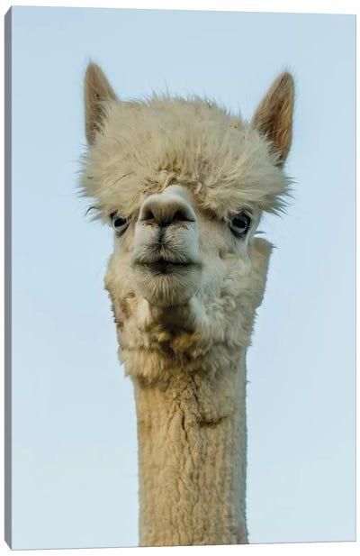 Alpaca Portrait IV Canvas Art Print