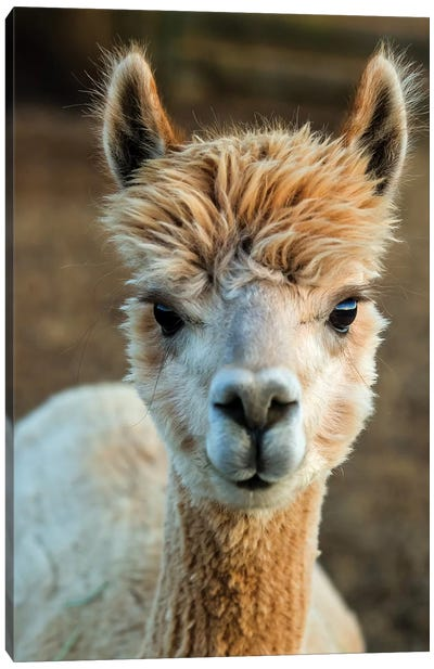 Alpaca Portrait V Canvas Art Print