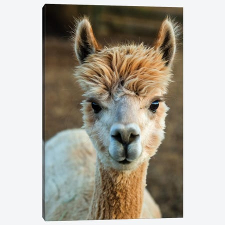 Alpaca Portrait V Canvas Print #TYS5} by Tyler Stockton Canvas Art Print