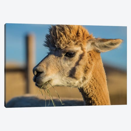Alpaca Portrait VI Canvas Print #TYS6} by Tyler Stockton Canvas Art Print