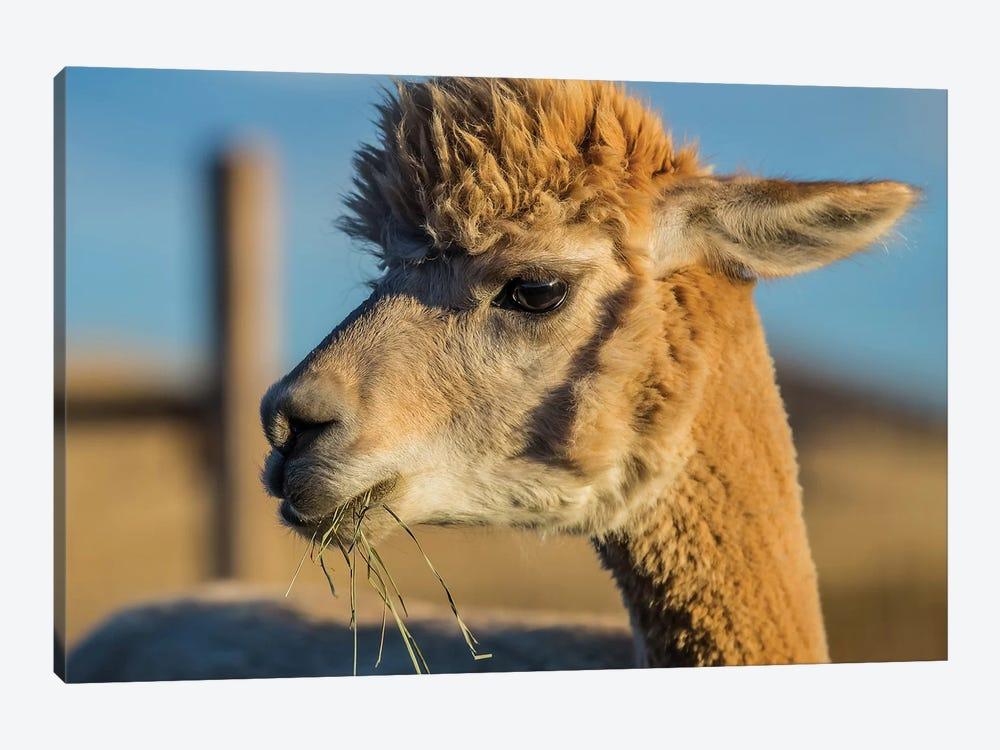 Alpaca Portrait VI by Tyler Stockton 1-piece Art Print