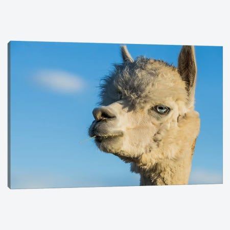 Alpaca Portrait VII Canvas Print #TYS7} by Tyler Stockton Canvas Print