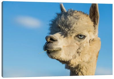 Alpaca Portrait VII Canvas Art Print