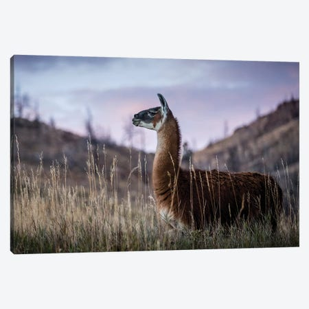 Llama Portrait I Canvas Print #TYS8} by Tyler Stockton Canvas Wall Art