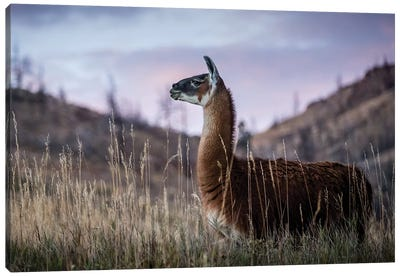 Llama Portrait I Canvas Art Print