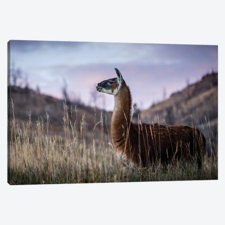 Llama Portrait I Canvas Print #TYS8} by Tyler Stockton Canvas Wall Art