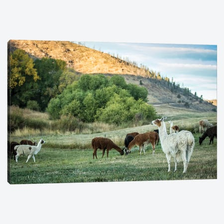 Llama Portrait II Canvas Print #TYS9} by Tyler Stockton Canvas Art
