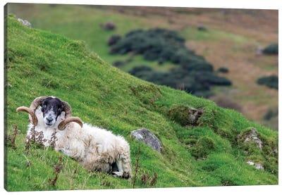 Lanard Blackface Ram On The Fanad Peninsula, Ireland Canvas Art Print