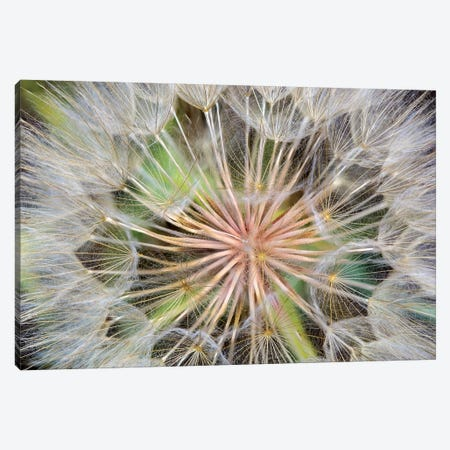 Goatsbeard (Western Salsify) Seedhead In Zoom, Whitefish, Flathead County, Montana, USA Canvas Print #UCK12} by Chuck Haney Canvas Art Print