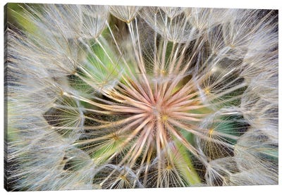 Goatsbeard (Western Salsify) Seedhead In Zoom, Whitefish, Flathead County, Montana, USA Canvas Art Print