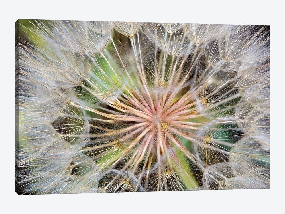Goatsbeard (Western Salsify) Seedhead In Zoom, Whitefish, Flathead County, Montana, USA by Chuck Haney 1-piece Canvas Print