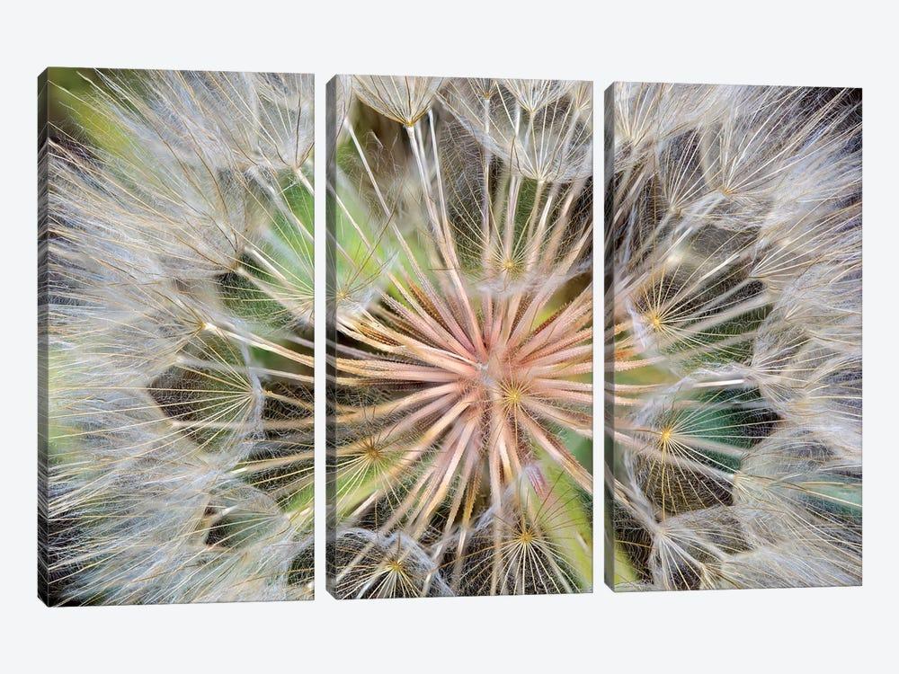 Goatsbeard (Western Salsify) Seedhead In Zoom, Whitefish, Flathead County, Montana, USA by Chuck Haney 3-piece Art Print
