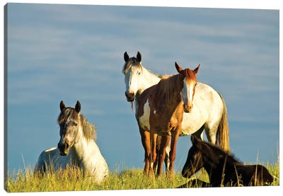 Nokota Horses, Theodore Roosevelt National Park, North Dakota, USA Canvas Art Print