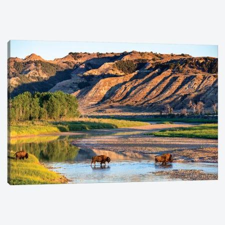 Group Of Roaming Bison (American Buffalo), Little Missouri River, Theodore Roosevelt National Park, North Dakota, USA Canvas Print #UCK19} by Chuck Haney Canvas Print