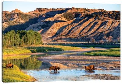 Group Of Roaming Bison (American Buffalo), Little Missouri River, Theodore Roosevelt National Park, North Dakota, USA Canvas Art Print