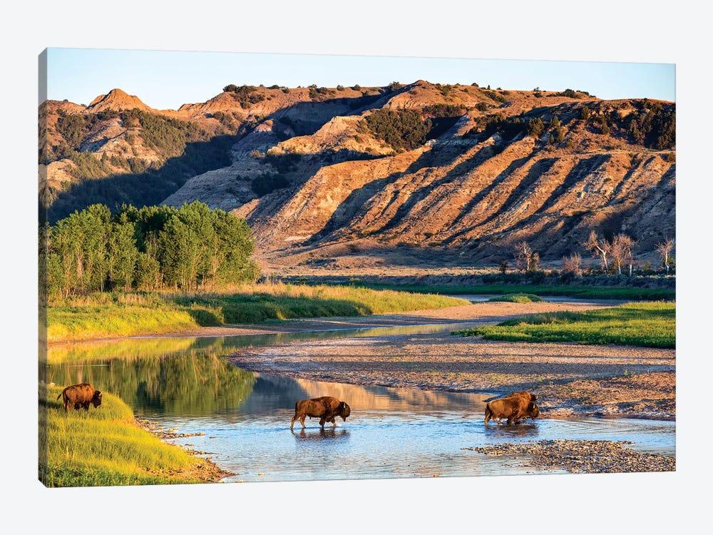 Group Of Roaming Bison (American Buffalo), Little Missouri River, Theodore Roosevelt National Park, North Dakota, USA by Chuck Haney 1-piece Canvas Art