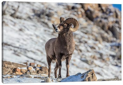 Bighorn sheep ram in early winter in Glacier National Park, Montana, USA Canvas Art Print