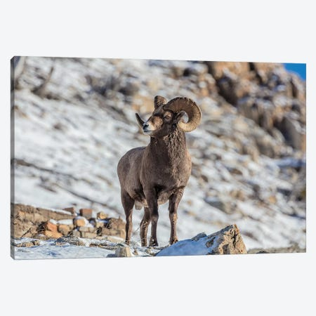 Bighorn sheep ram in early winter in Glacier National Park, Montana, USA Canvas Print #UCK25} by Chuck Haney Canvas Art Print